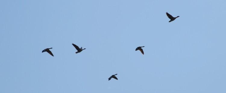 divoké husy na obloze